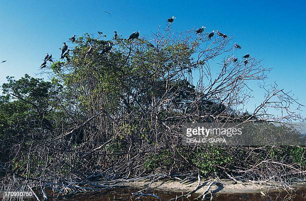 Colony of Magnificent Frigate Birds in the mangrove trees Sian Ka'an Biosphere Reserve Quintana Roo Mexico