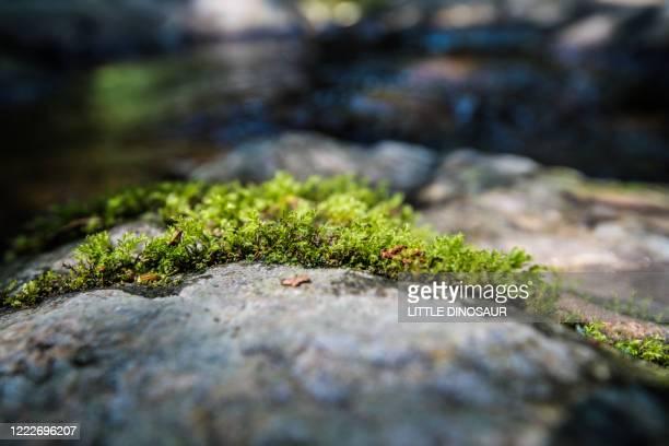 colony of moss on a rock - コケ ストックフォトと画像