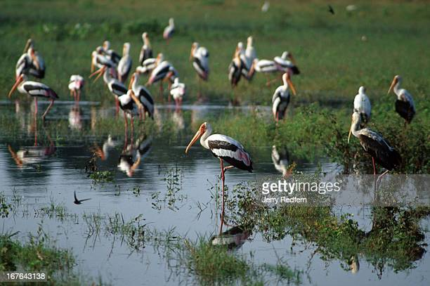 Colony of Painted Storks wades in Kaudulla Tank in Kaudulla National Park. Tank is a Sri Lankan term for an ancient reservoir originally constructed...