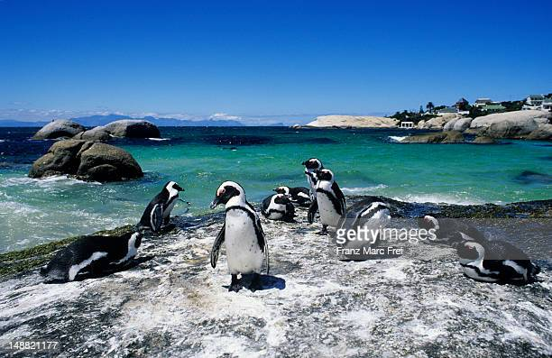 colony of penguins on boulder beach, simonstown. - south africa stock pictures, royalty-free photos & images