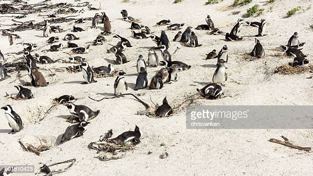 Colony of Penguins, Western Cape, South Africa
