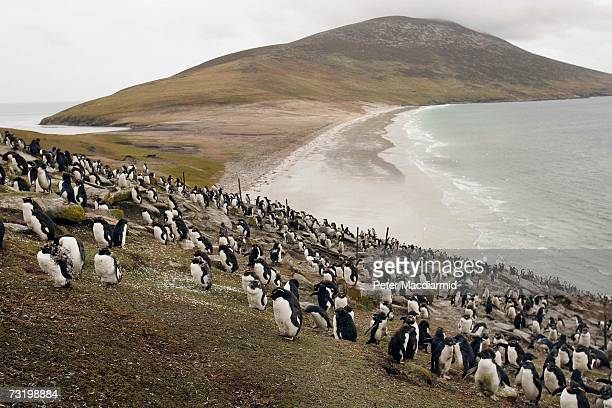 A colony of Rock Hopper penguins covers a hillside on February 3 2007 on Saunders Island Falkland Islands