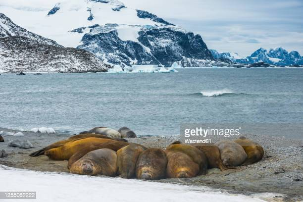 colony of southern elephant seals (mirounga leonina) at shore of coronation island - antarctic ocean stock pictures, royalty-free photos & images