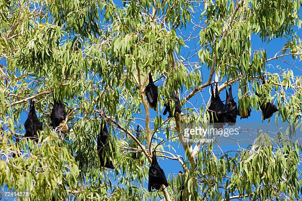 Colony of Spectacled Flyingfox bats Port Douglas Queensland Australia