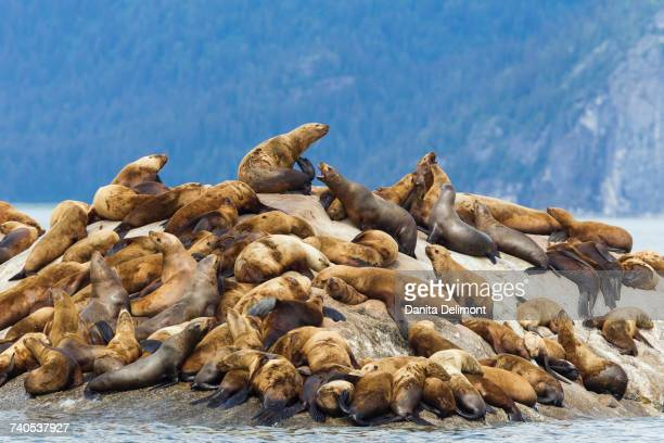 Colony of Stellar sea lions (Eumetopias Jubatus) lying on rocks in the bay near Marble Islands, Glacier Bay, Alaska, USA