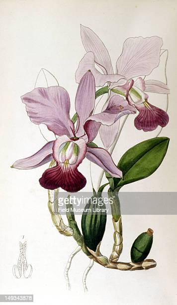 Color botanical plate from volume 10 of 'Edwards Botanical Register' shows a Cattleya bulbosa a type of orchid 1847