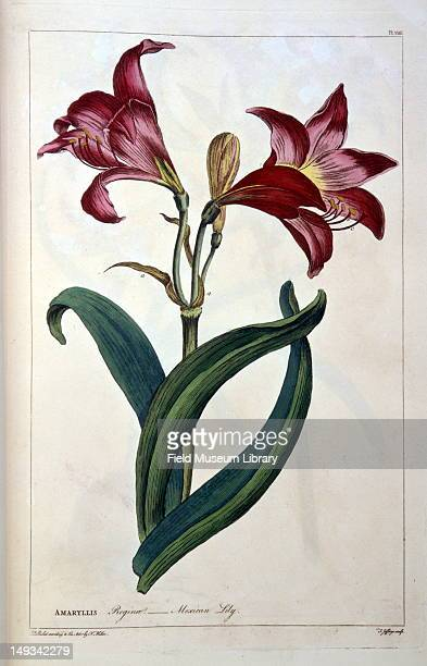 Color botanical plate shows a Amaryllis reginae also known as a Mexican lily 19th century