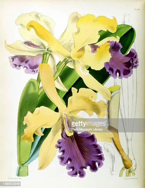 Color botanical plate shows a Cattleya dowiana also known as Dow's Cattleya a type of orchid 1867