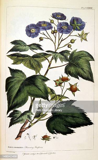 Color botanical plate shows a Rubus ororatus a flowering raspberry plant 19th century