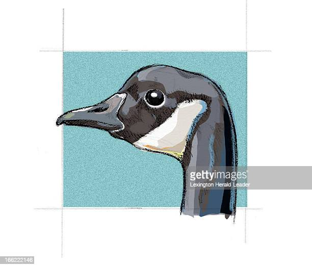 color Camille Webber illustration of a Canada goose a bird common to the midwestern US