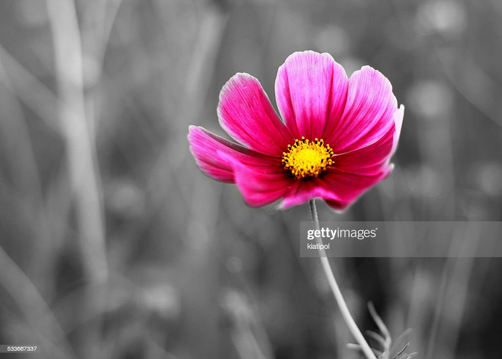 Color cosmos flowers closeup on black and white background