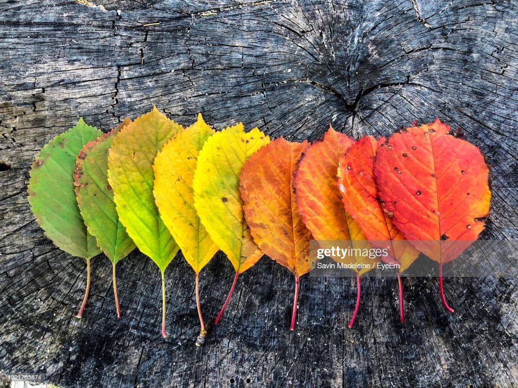 Color Gradients Of Autumn Leaves On Rustic Wooden Table : Stock Photo