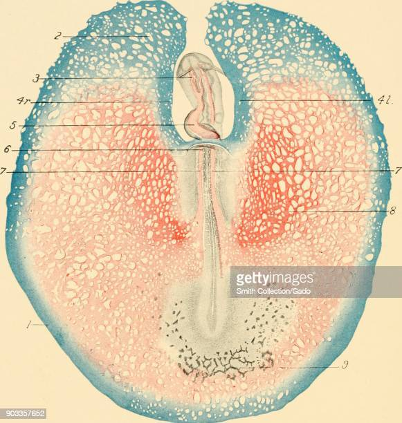 Color illustration depicting circulation in the embryo and yolk sac of a chicken egg with vitelline arteries differentiating from the vascular...