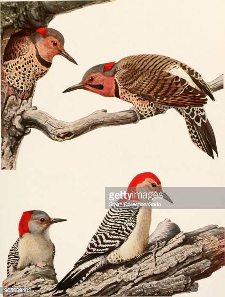 Color illustration depicting four Red-bellied woodpeckers, Melanerpes carolinus or Centurus carolinus , with two females perched on the lower branch...