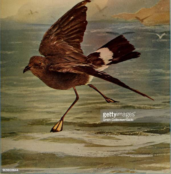 Color illustration depicting the profile view of a Wilson's storm petrel with brown feathers and a white tail stripe about to land on the shoreline...