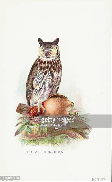 Color illustration of a Great Horned Owl, Bubo virginianus, a large, heavy owl, specific to the Americas.