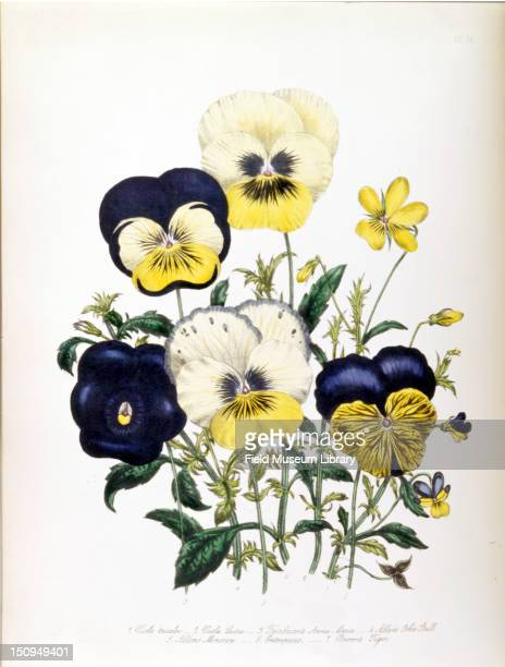 Color illustration of a Viola Tricolor 1844 The illustration is botanical plate 14 from 'The Ladies' FlowerGarden of Ornamental Annuals' by Mrs Jane...
