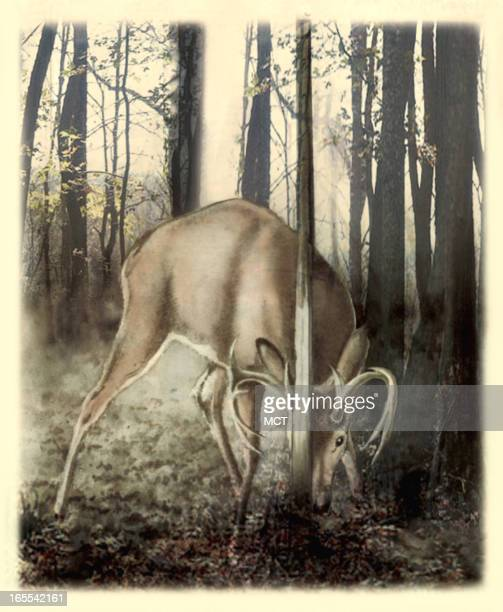 color illustration of a whitetail buck rubbing antlers on tree