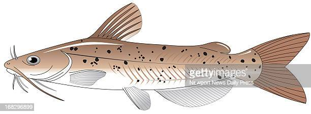 color illustration of channel catfish Daily Press /Tribune News Service via Getty Images