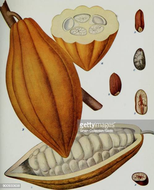 Color illustration of the parts of a cocoa pod depicting the fruit seed and pericarp whole cut lengthwise and in crosssection from Volume IV in the...