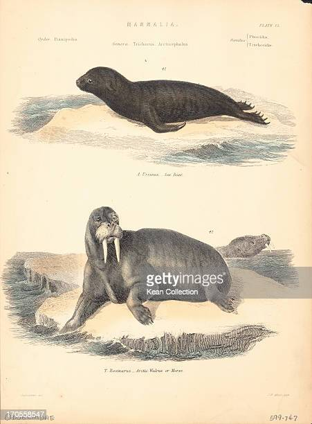 Color illustration of two Odobenidae a family of Pinnipeds representing the only living species of walrus