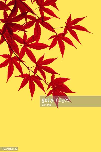 color manipulated image of japanese maple leaves against yellow background - japanese maple stock pictures, royalty-free photos & images