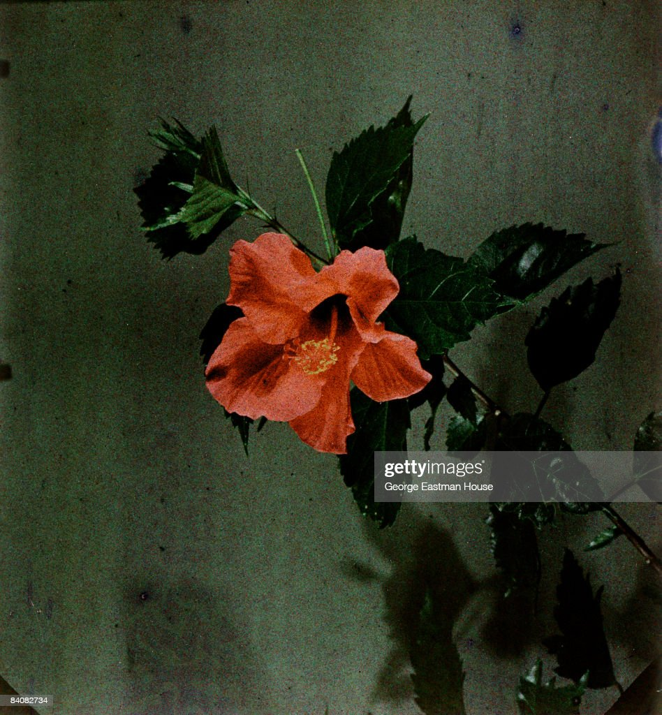 A color photograph of a hibiscus flower, ca.1915. United States.