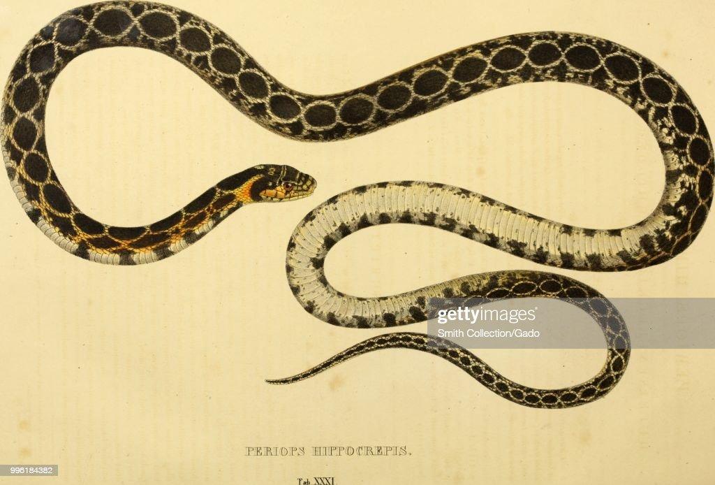 Horseshoe Whip Snake : News Photo