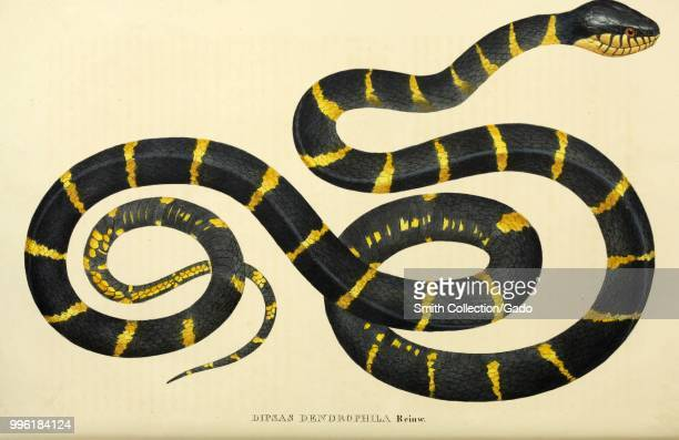Color print depicting both dorsal and ventral views of a yellow and black snake captioned dipsas dendrophila likely the Goldringed Cat Snake also...