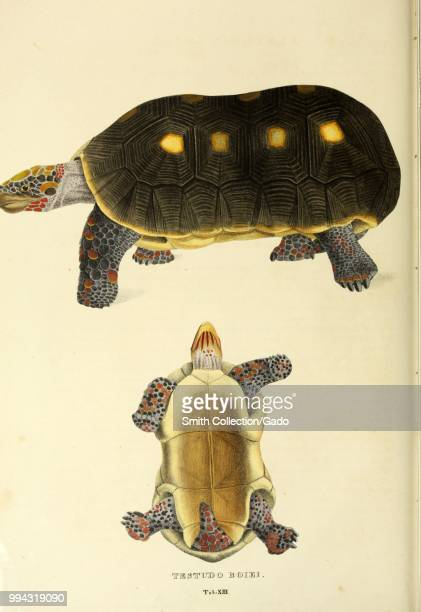 Color print depicting both dorsal and ventral views of the redfooted tortoise a mediumsized northern South American species of tortoise in the family...