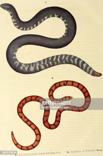 Color print depicting both dorsal and ventral views of two snakes the black red and grey colored redtailed pipe snake common pipe snake or red...