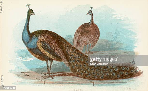 Color print of a peacock a peahen best known for the male's extravagant eyespotted tail covert feathers