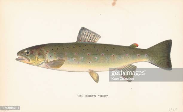 Color prints of fish species the Brown Trout