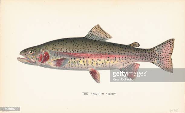 Color prints of fish species the Rainbow Trout