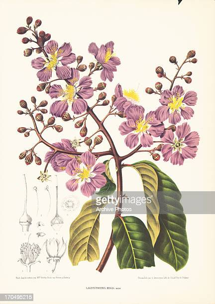 Color prints of flowering plants Lagerstroemia speciosa or Giant Crape Myrtle