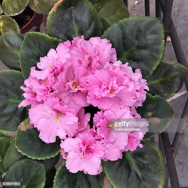 color stories - pastels - african violet stock photos and pictures