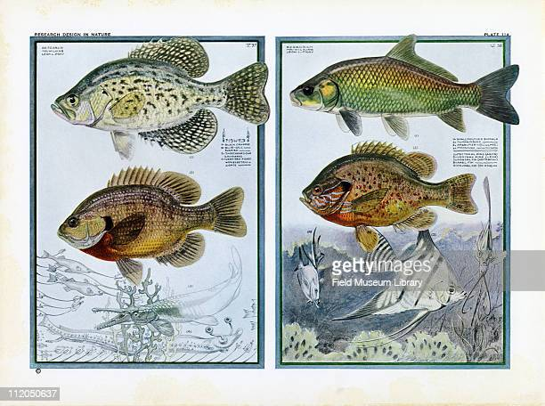 Color study of a Black Crappie Blue Gill Shortnosed Gar Deep Sea Fishes Small Mouth Buffalo Pumpkinseed Angelfish and a Moonfish mid 1920s