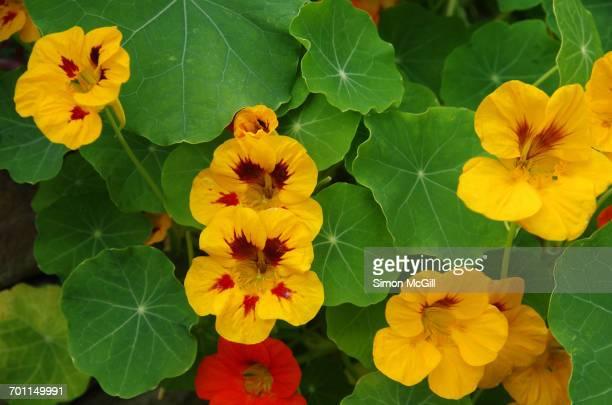 color surge - nasturtium stock pictures, royalty-free photos & images