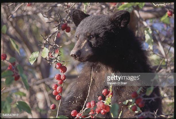 Colorado: A Black Bear.
