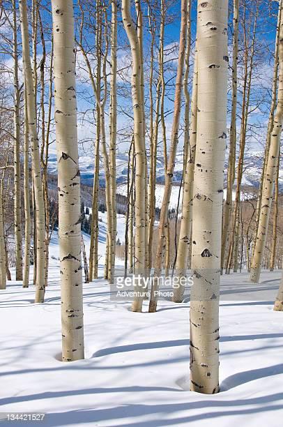 Colorado Aspen Trees in WInter