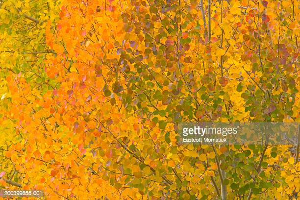USA, Colorado, autumnal aspen trees, full frame