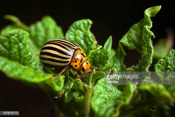 a colorado beetle eating potato leaves - pest stock photos and pictures