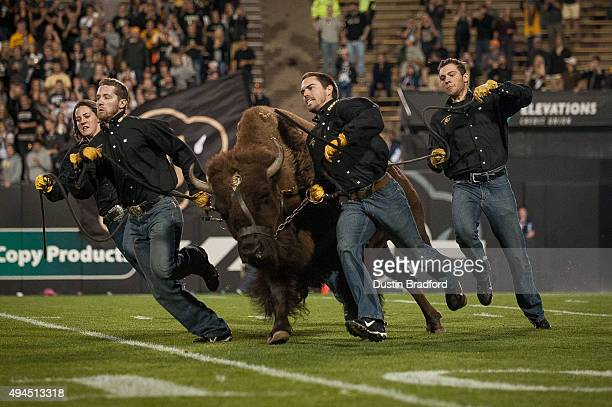 Colorado Buffaloes mascot 'Ralphie' is run on the field by handlers before a game between the Colorado Buffaloes and the Arizona Wildcats at Folsom...