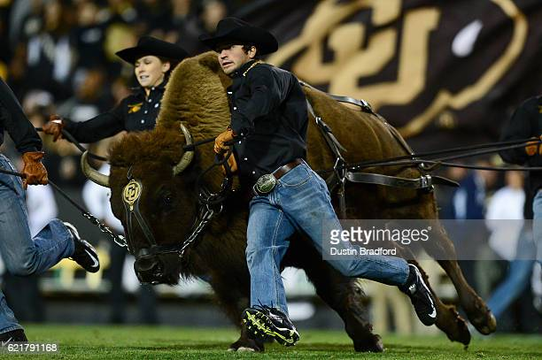 Colorado Buffaloes mascot Ralphie is run onto the field by handlers at halftime of a game between the Colorado Buffaloes and the UCLA Bruins at...
