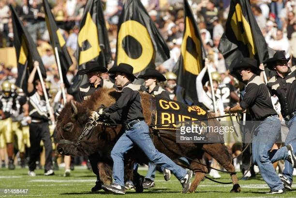 Colorado Buffaloes mascot Ralphie the Buffalo charges around the field before a game against the Oklahoma State Cowboys October 9 2004 at Folsom...