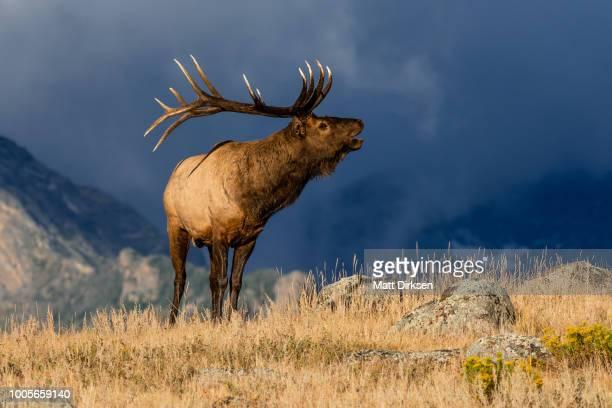 colorado bull elk - wapiti foto e immagini stock