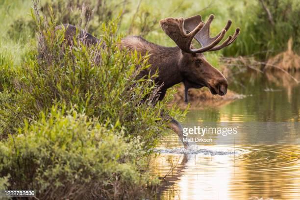colorado bull moose - colorado stock pictures, royalty-free photos & images