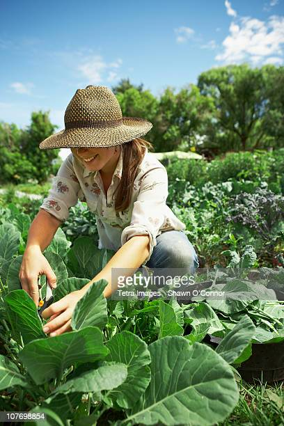 USA, Colorado, Carbondale, Young woman picking cabbages in field