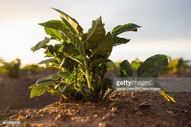 usa, colorado, close up of plant growing in field - crop plant stock pictures, royalty-free photos & images