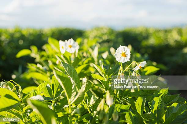 USA, Colorado, Close up of white flowers in field